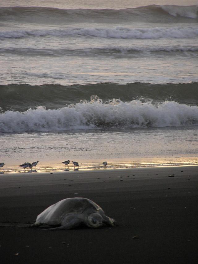 Olive_ridgely_turtle_at_playa_ostional